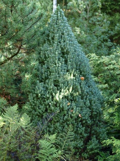 Picea glauca 'Maigold'