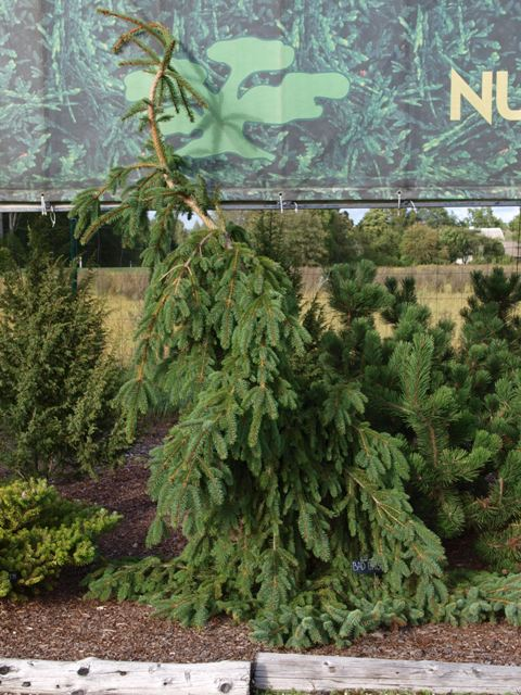 Picea abies 'Bad Orb'