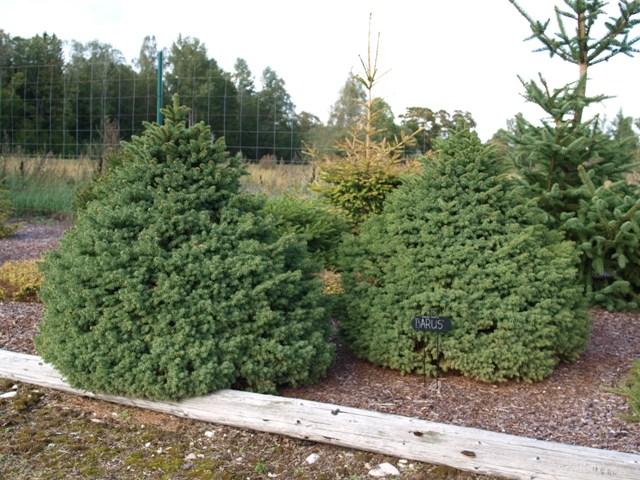 Picea abies 'Barus'