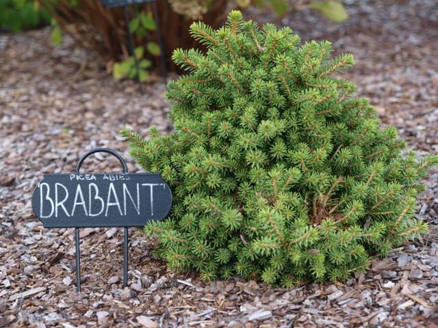 Picea abies 'Brabant'