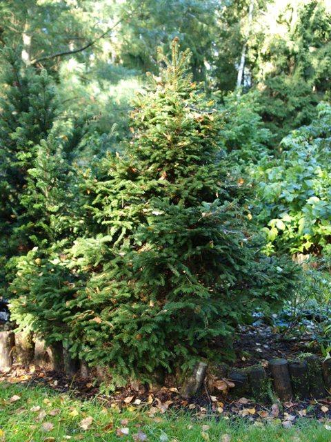 Picea abies 'Ellwangeriana'