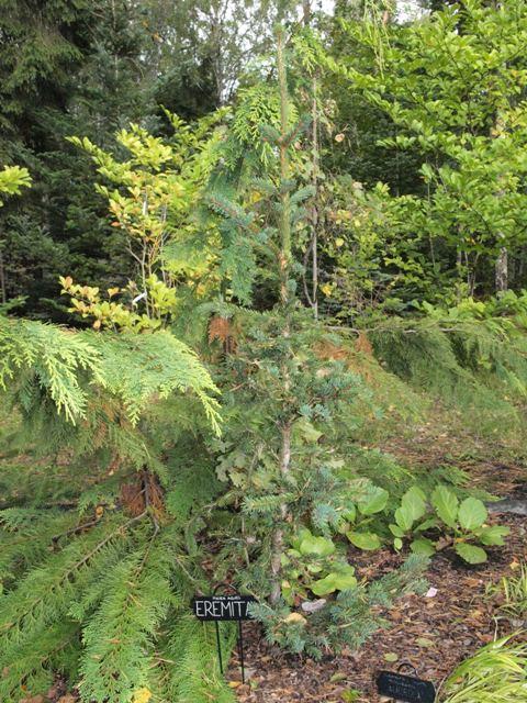 Picea abies 'Eremita'