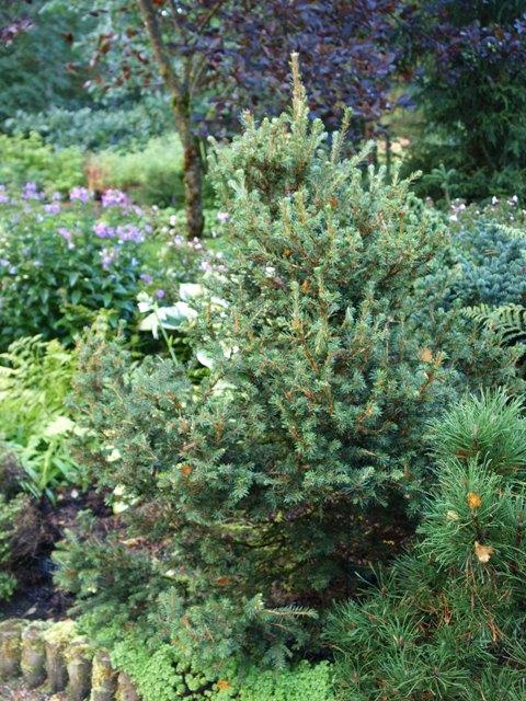 Picea abies 'Filip's Tive'