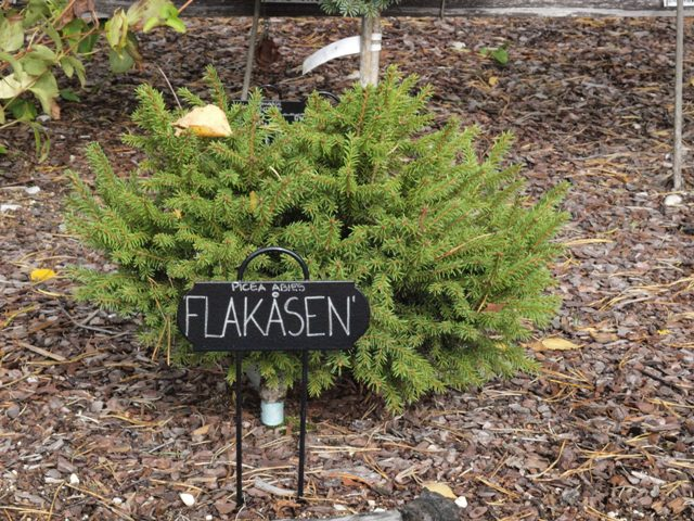 Picea abies 'Flakåsen'
