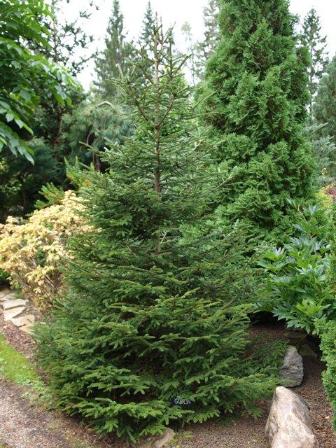 Picea abies 'Goblin'