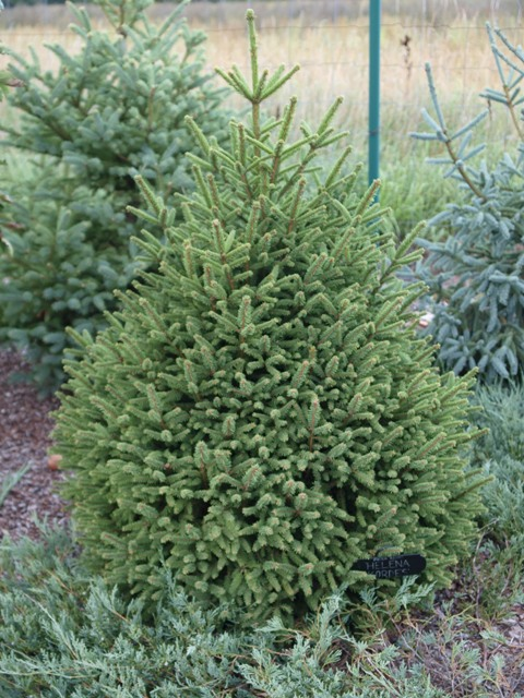 Picea abies 'Helene Cordes'