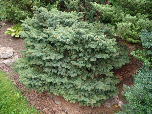 Picea abies 'Katka'