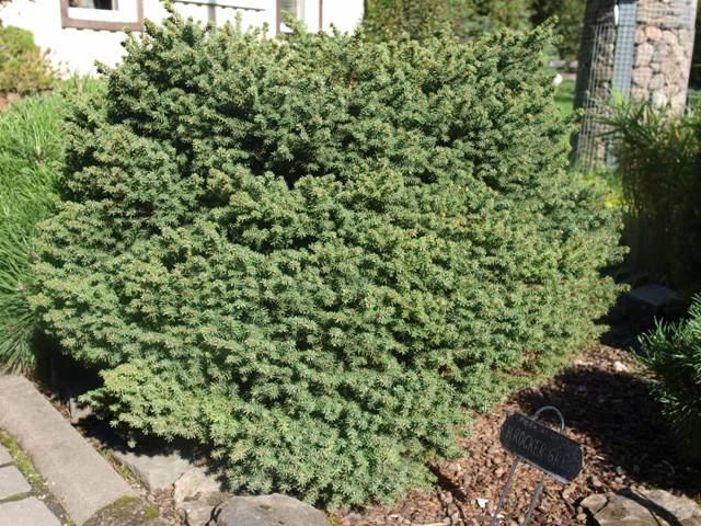 Picea abies 'Krocker Greg'