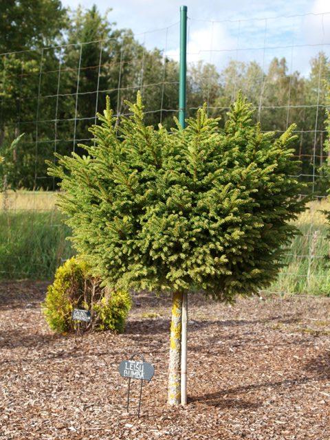 Picea abies 'Leišu Bumba'