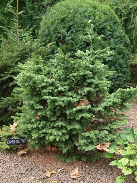 Picea abies 'Lendo'
