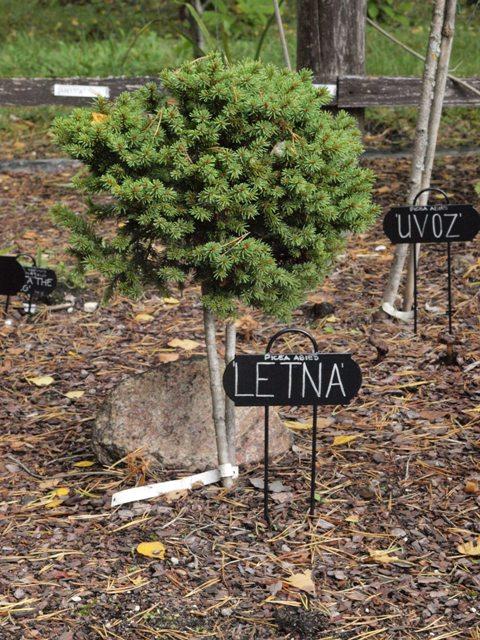 Picea abies 'Letna'