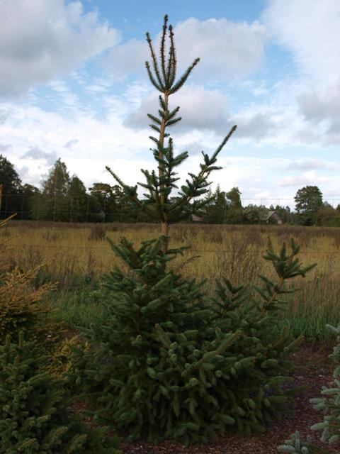 Picea abies 'Meranovo'