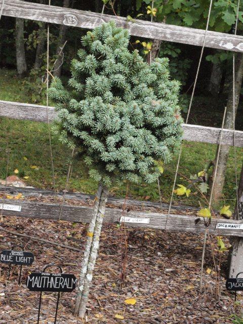 Picea abies 'Mouthneralm'