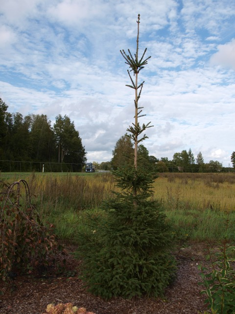 Picea abies 'Nympha'