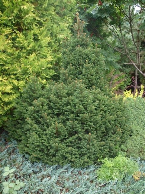 Picea abies 'Ohlendorffii'