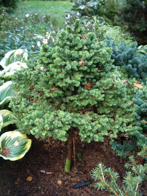 Picea abies 'Parsoni WB'