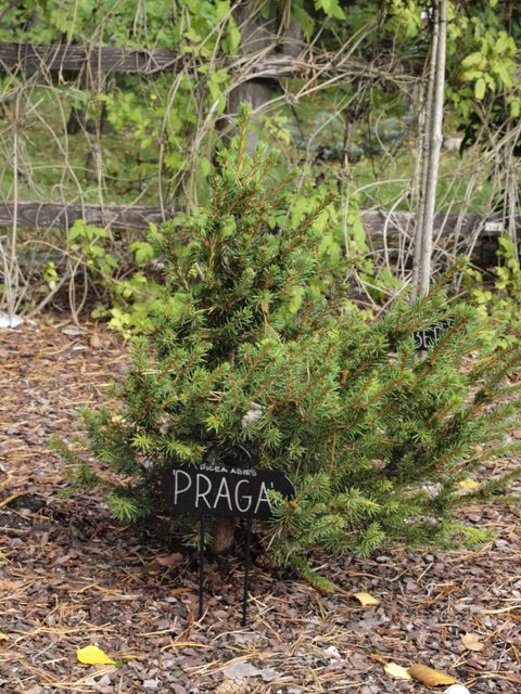 Picea abies 'Praga'