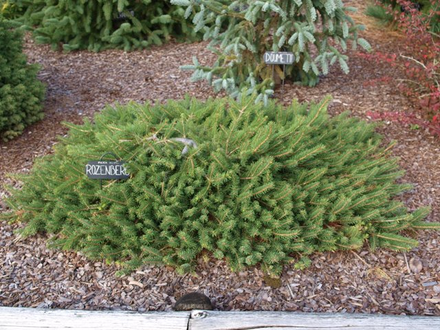 Picea abies 'Rozenberg'