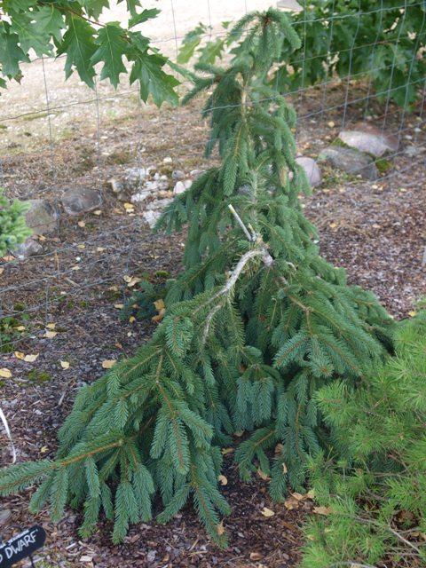 Picea abies 'Silva Tarouca'