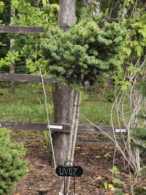 Picea abies 'Uvoz'