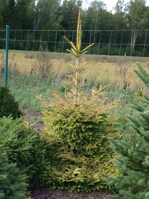 Picea abies 'Uwe Horstmann'