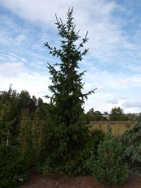 Picea abies 'Virgata Compact'