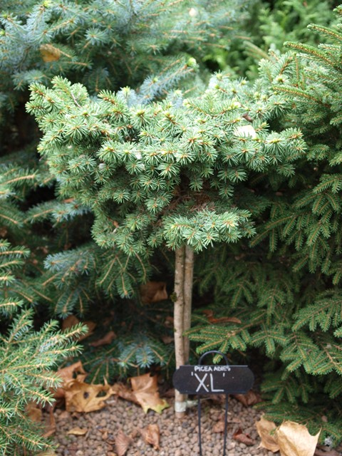 Picea abies 'XL'