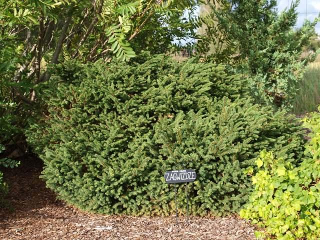 Picea abies 'Zagwizdze'