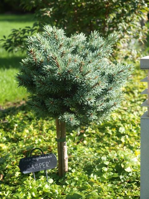 Picea engelmannii 'Jasper'