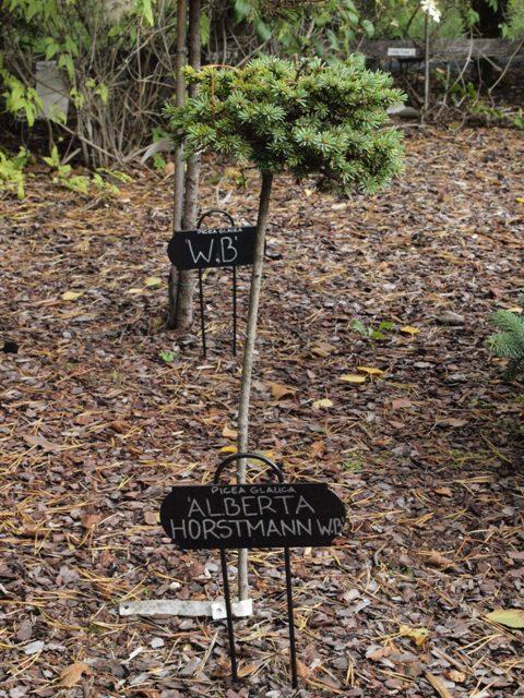 Picea glauca 'Alberta Horstmann HB'