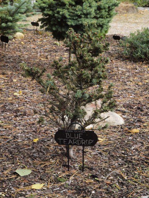 Picea glauca 'Blue Teardrop'