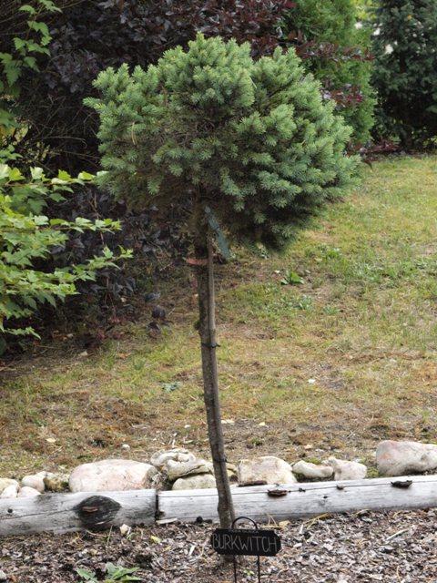 Picea glauca 'Burkwitch'