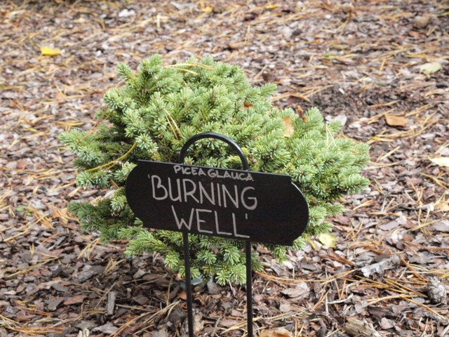 Picea glauca 'Burning Well'