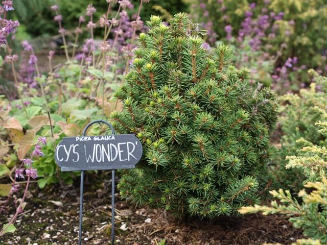 Picea glauca 'Cy's Wonder'