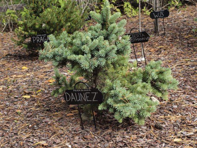 Picea glauca 'Daunez'