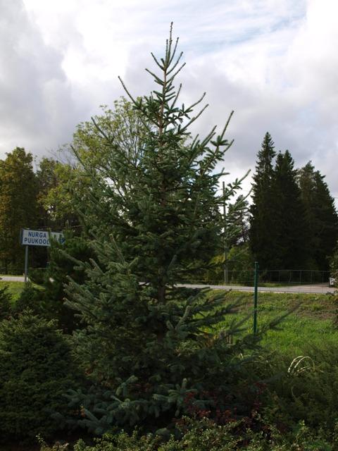 Picea glauca 'Dent'