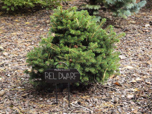 Picea glauca 'Rel Dwarf'