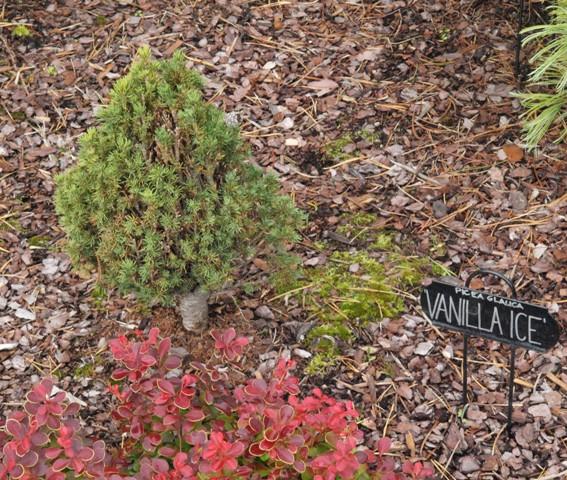 Picea glauca 'Vanilla Ice'