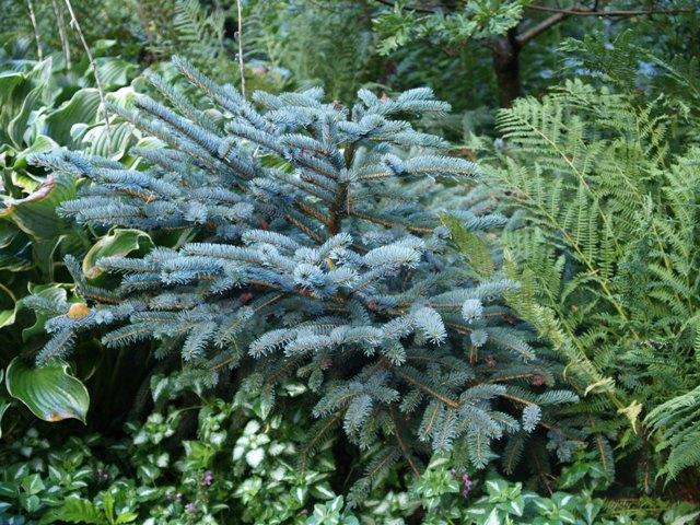 Picea jezoensis 'Nana'