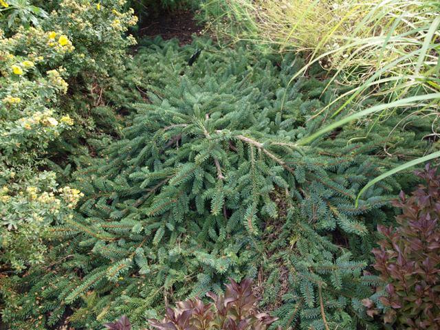 Picea koyamae 'Bedgebury Cascade'