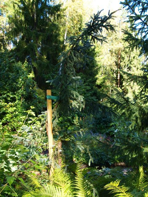 Picea mariana 'Aurea'
