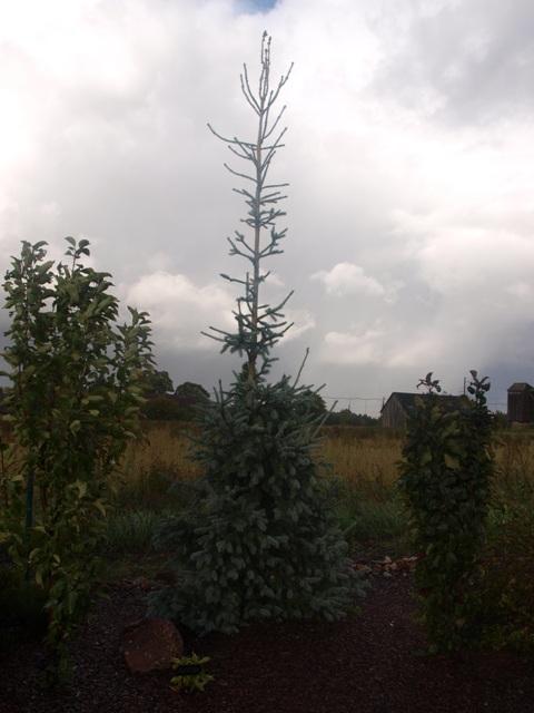 Picea obovata 'Krylov'