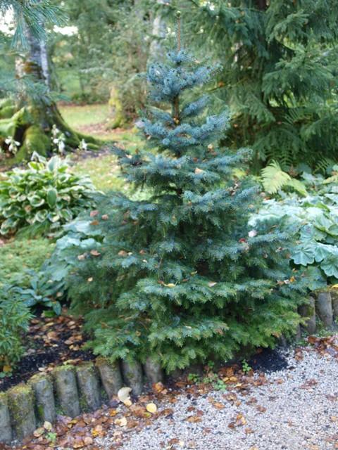 Picea omorika 'Alexandra'