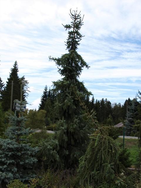 Picea omorika 'Berliner's Weeper'