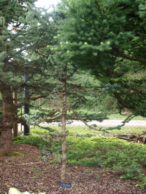 Picea omorika 'De Ruyter'