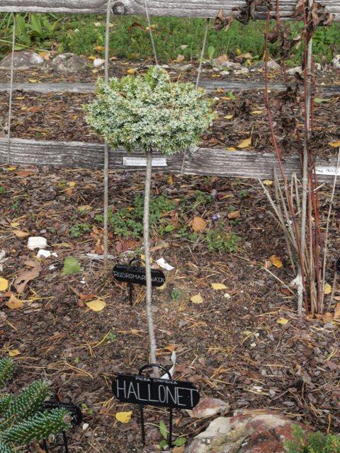 Picea omorika 'Hallonet'