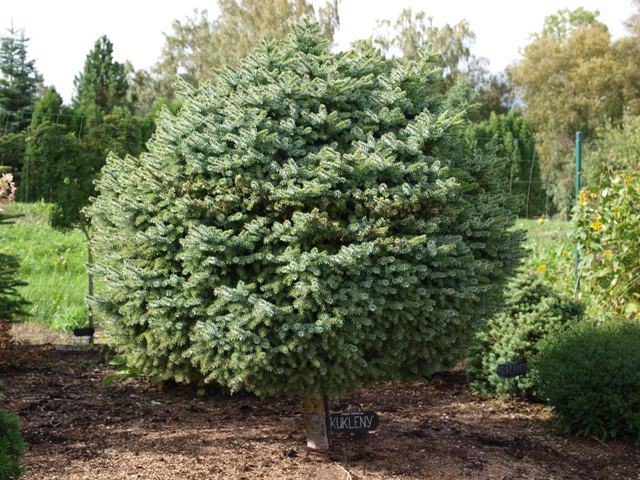 Picea omorika 'Kukleny'