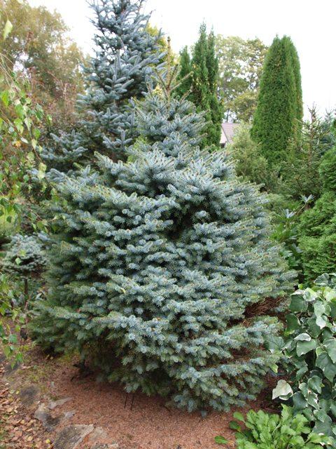 Picea omorika 'Pevé Tijn'