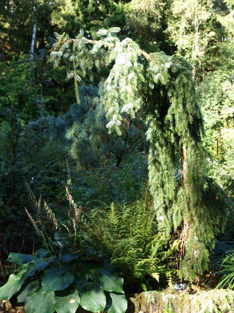Picea omorika 'Radloff'