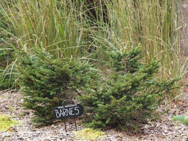 Picea orientalis 'Barnes'
